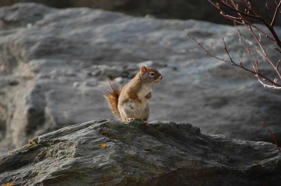 Squirrel - Alaska