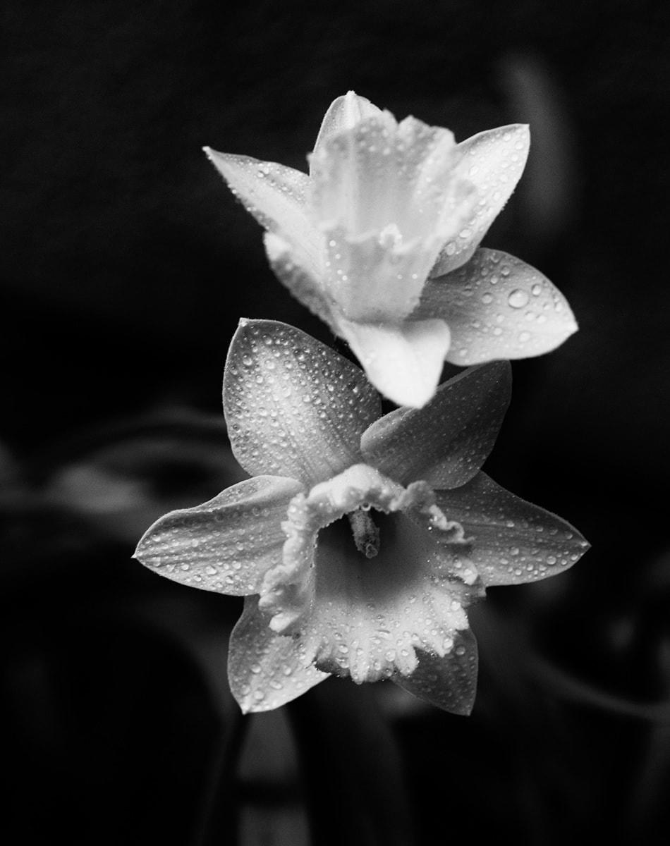 Daffodils In Black n White